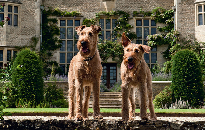 irish-terriers-from-country-life.jpg