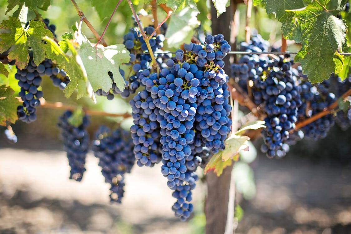 purple-grapes-vineyard-napa-valley-napa-vineyard-45209.jpeg